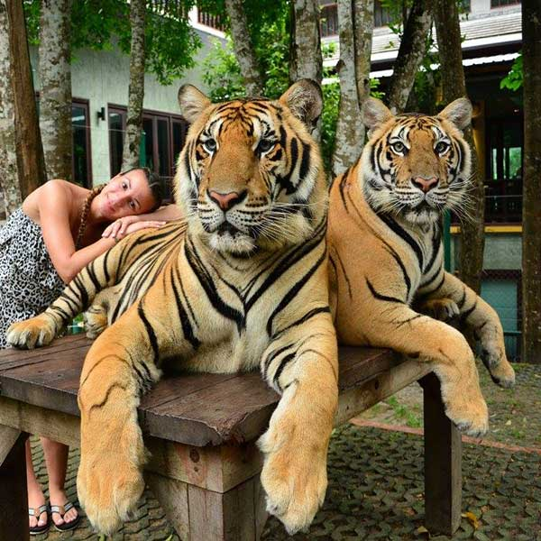 play-animal-take-picture-touch-with-tigers-kingdom-phuket-3