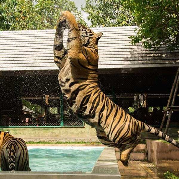 play-take-picture-touch-with-see-tigers-kingdom-phuket-2