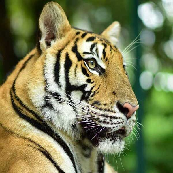play-take-picture-touch-with-see-tigers-kingdom-phuket-3