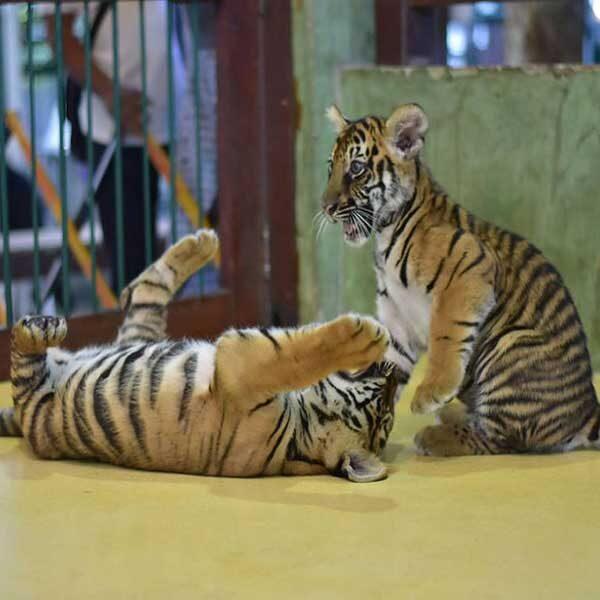 Smallest-Tiger-Kingdom-Phuket-3