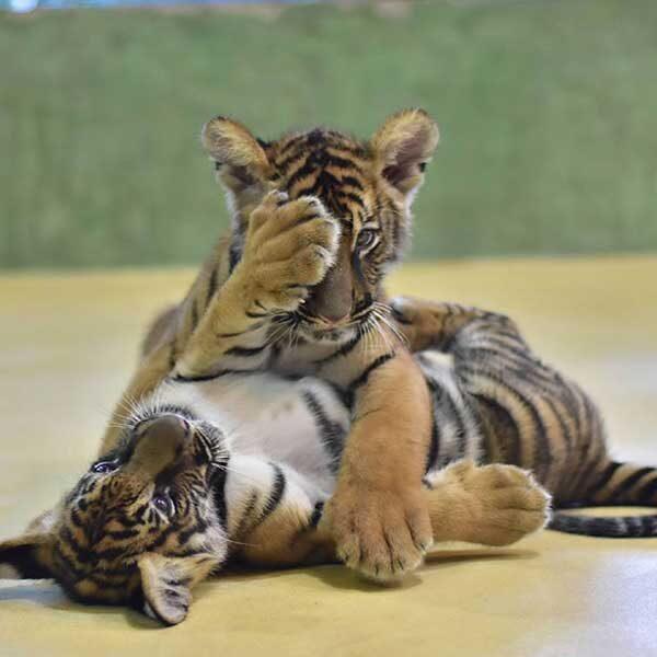 Smallest-Tiger-Kingdom-Phuket-4