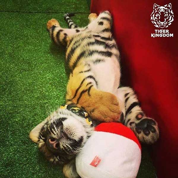 Smallest-Tiger-Kingdom-Phuket