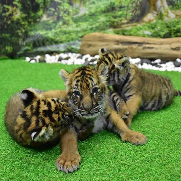 New-Born-Tiger-Kingdom-Phuket-2
