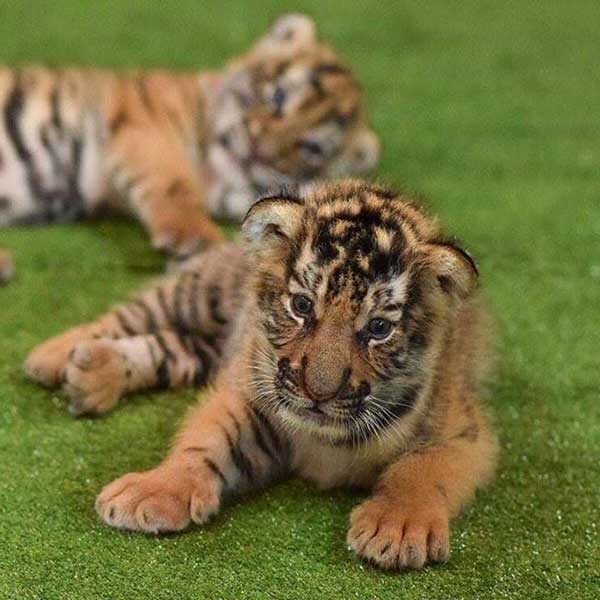 New-Born-Tiger-Kingdom-Phuket-3