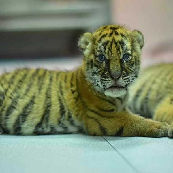 New-Born-Tiger-Kingdom-Phuket-5