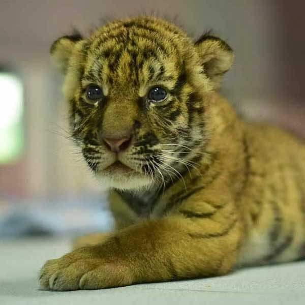 New-Born-Tiger-Kingdom-Phuket