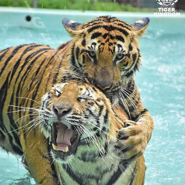 play-take-picture-touch-with-see-tigers-kingdom-phuket-5
