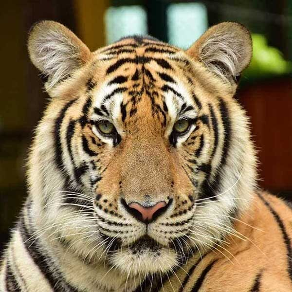 Medium-Tiger-Kingdom-Phuke-3