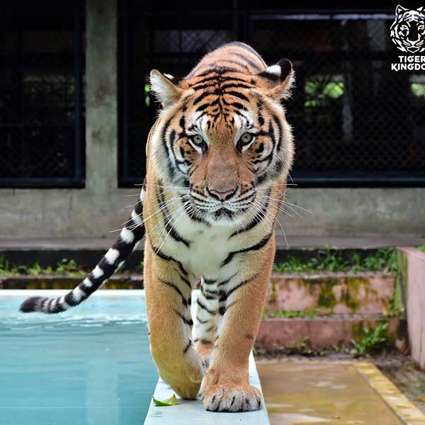 Medium-Tiger-Kingdom-Phuket