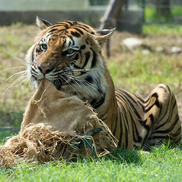 best-tiger-zoo-chiang-mai-mae-rim