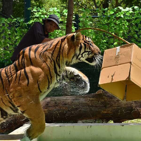 chiang-mai-tiger-zoo-mae-rim