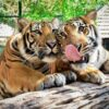 play-with-tiger-chiang-mai-zoo