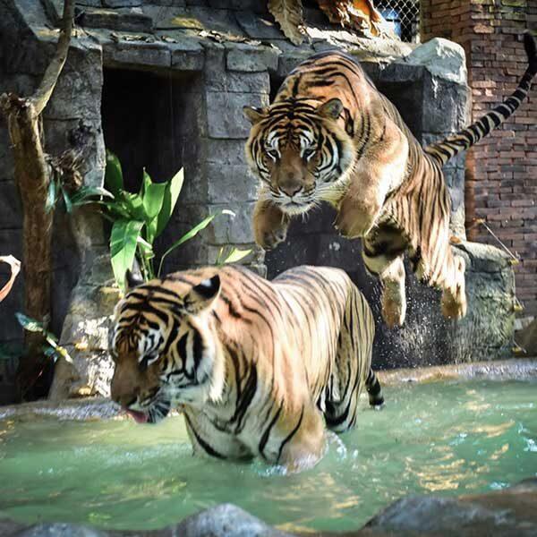 take-photo-with-big-tiger-chiang-mai-zoo