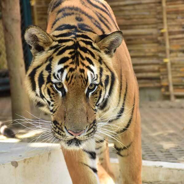 tiger-care-experience-mae-rim-chiang-mai