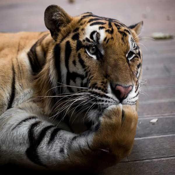 tiger-kingdom-chiang-mai-mae-rim-book-ticket