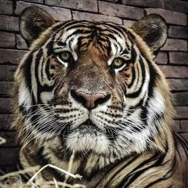 tiger-kingdom-mae-rim-chiang-mai-zoo-2