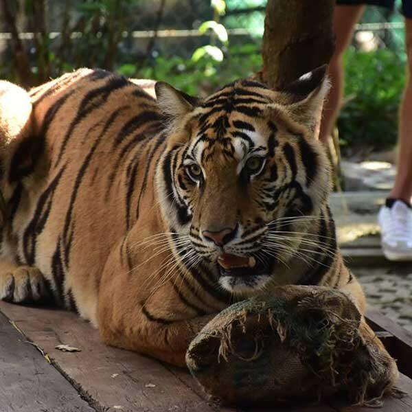 tiger-trail-care-experience-mae-rim-chiang-mai-2
