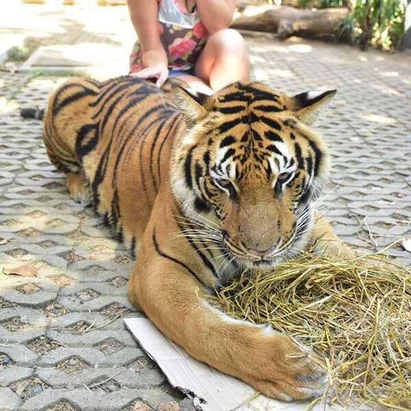 tiger-trail-care-experience-mae-rim-chiang-mai-4