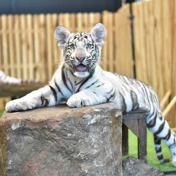 white-tiger-chiang-mai-zoo