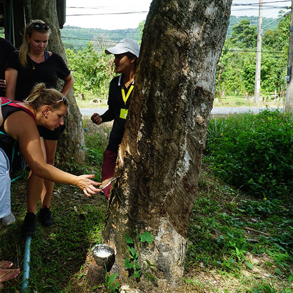full-day-samui-safari-tour-rubber-tree